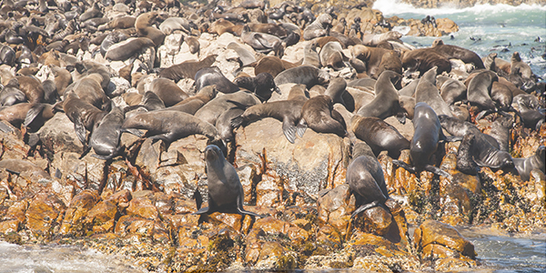 Mossel Bay Activities - Seal Island