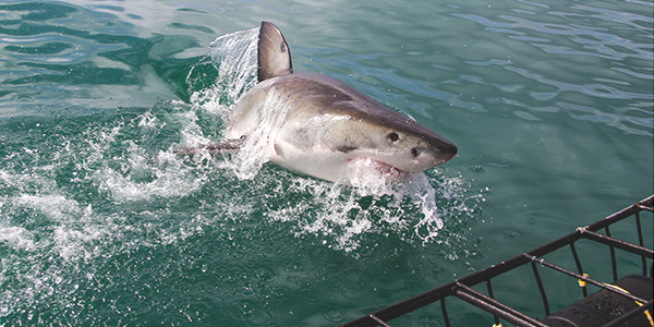 Mossel Bay Activities - Shark Cage Diving